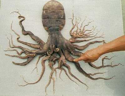Octopus with 96 arms